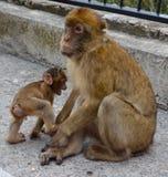 Singe de macaque de Barbarie Photographie stock libre de droits