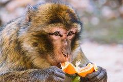 Singe de macaque de Barbarie mangeant une mandarine, Ifrane, Maroc Photo libre de droits