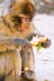 Singe de macaque de Barbarie mangeant une mandarine, Ifrane, Maroc Images stock