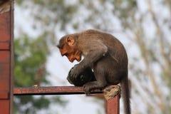 Singe de Macaque de capot Image libre de droits