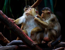Singe de macaque de rhésus Photo stock