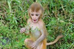 Singe de macaque de rhésus de chéri Photos stock