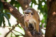 Singe de macaque de toque Photographie stock