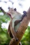 Singe de macaque de toque Images libres de droits