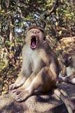 Singe de Macaque de toque avec les dents pointues Image libre de droits
