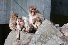 Singe de Macaque japonais au zoo Photographie stock libre de droits