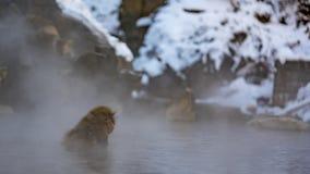 Singe de Macaque japonais dans l'eau de refroidissement de lac photo stock