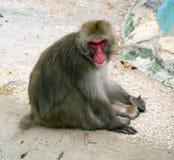 Singe de macaque japonais dans le paquet rouge de peau de singe du Japon d'île de yakushima Photo stock