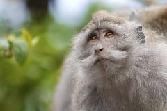 singe de Macaque Long-coupé la queue image libre de droits
