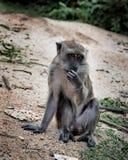 singe de macaque Long-coupé la queue d'île de Langkawi, Malaisie photographie stock libre de droits