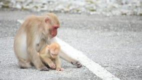 Singe de macaque de mère et de bébé mangeant de la nourriture qui tombe au sol clips vidéos