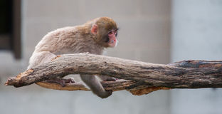 Singe de Macaque (neige) Photo stock