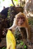 Singe de Macaque prenant la banane Photographie stock