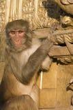 Singe de macaque de rhésus avec le regard fixe intense Images stock