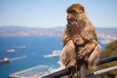 Singe de Macaque sur le Gibraltar Photos stock