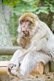 Singe de macaque vert avec l'expression human-like Image libre de droits