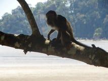 Singe de Makak dans la forêt humide du Bornéo images libres de droits