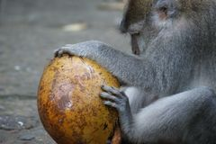 Singe de Makak dans le temple de Bali, Indonésie photos stock