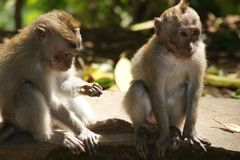 Singe de Makak dans le temple de Bali, Indonésie Photos libres de droits