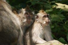 Singe de Makak dans le temple de Bali, Indonésie Images libres de droits