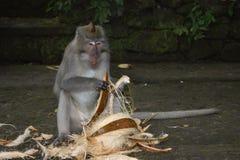 Singe de Makak dans le temple de Bali, Indonésie Photos stock