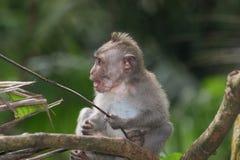 Singe de Makak dans le temple de Bali, Indonésie Image stock