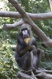 Singe de Mandrill Images stock