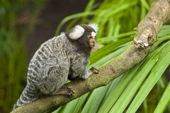 Singe de Marmoset sur un branchement Images libres de droits
