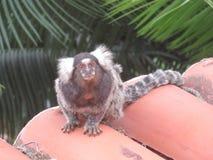 Singe de Mico dans le Pipa, Brésil Photographie stock