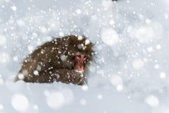 Singe de neige Photos stock