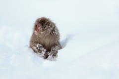 Singe de neige Photographie stock
