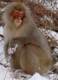 Singe de neige en source thermale Image libre de droits