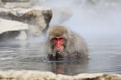 Singe de neige en source thermale, Jigokudani, Nagano, Japon Image stock
