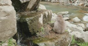 Singe de neige, Macaque japonais, mangeant des graines sélectionnées des roches à côté d'une rivière clips vidéos