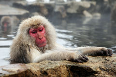 Singe de neige, macaque se baignant en source thermale, préfecture de Nagano, Japon Images stock