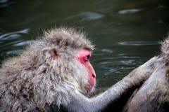 Singe de neige de toilettage, ou Macaque japonais Photographie stock libre de droits