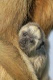 singe de Noir-hurleur, caraya d'Alouatta image libre de droits