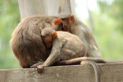 Singe de parent et d'enfant se reposant sur le mur Image libre de droits