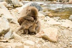 Singe de parent nettoyant le petit singe d'enfant Photos stock