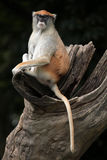 Singe de Patas (patas d'Erythrocebus) photographie stock
