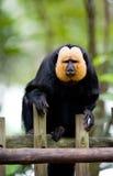 singe de saki de D'or-visage Image libre de droits