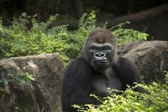 Singe de silverback masculin de gorille grande de l'Afrique se reposant dans les buissons verts de jungle images stock