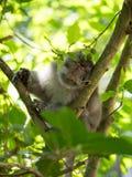 Singe de sommeil sur un arbre Image stock
