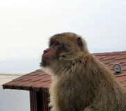 Singe de sylvanus de macaca de Macaque de Barbarie Images stock