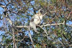 Singe de Vervet dans un arbre Image libre de droits