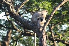 Singe de Vervet de bébé dans un arbre Images stock