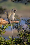 Singe de Vervet en parc national de Kruger Image libre de droits