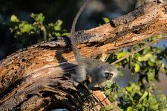 Singe de Vervet mignon de bébé en parc national de Kruger Image libre de droits