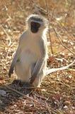 Singe de Vervet (pygerythrus de Chlorocebus) photo stock