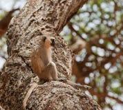 Singe de Vervet se reposant dans un arbre Image stock